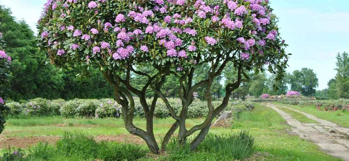 -rhododendron-roseum